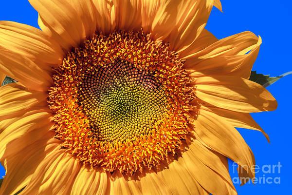 Sunflower Seeds Photograph - Sunflower by Robert Bales