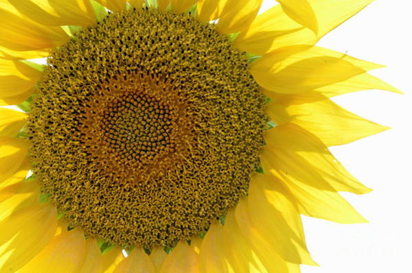 Wall Art - Photograph - Sunflower by Sami Sarkis