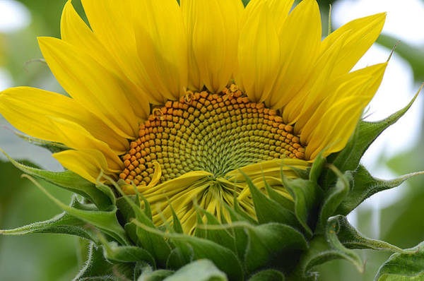 Sunflower Seeds Photograph - Sunny Side Up by Fraida Gutovich