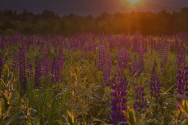 Photograph - Sunrise Over A Field Of Lupines by John Vose