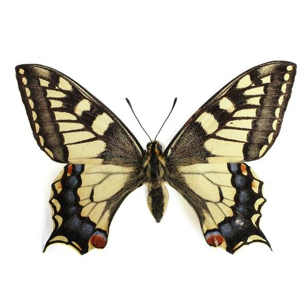 Wall Art - Photograph - Swallowtail Butterfly by Science Photo Library