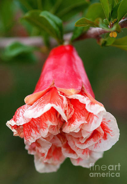 Photograph - Sweet Pomegranate Bloom  by Mae Wertz