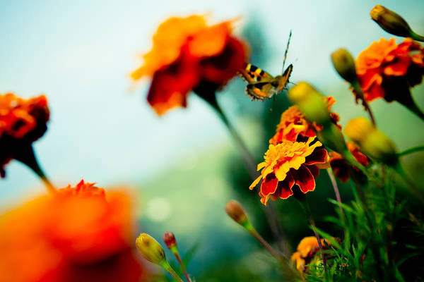 Tagetes And Buterfly Fly Away  Art Print