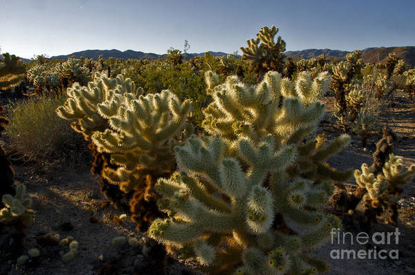 Cylindropuntia Bigelovii Photograph - Teddy Bear & Jumping Cholla by Mark Newman