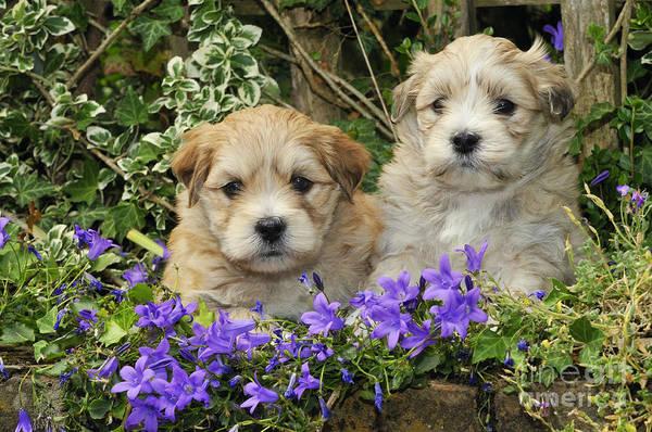 Photograph - Teddy Bear Puppy Dogs by John Daniels