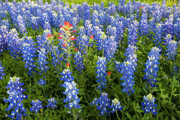 Texas Bluebonnet Photograph - Texas Bluebonnets (lupinus Texensis by Larry Ditto