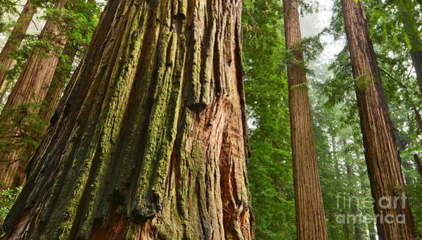 Sequoia Grove Photograph - The Beautiful And Massive Giant Redwoods Sequoia Sempervirens In Redwoods National Park. by Jamie Pham