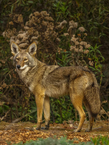 Coyote Photograph - The Coyote by Ernie Echols