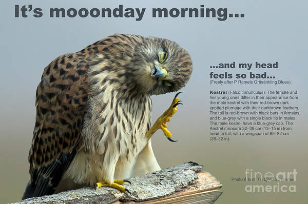 Photograph - The Monday Morning Kestrel... by Torbjorn Swenelius