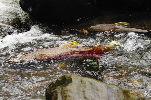 Trout Stream Photograph - The Struggle by Jeff Swan