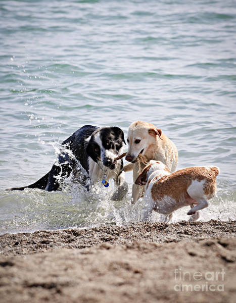 Wall Art - Photograph - Three Dogs Playing On Beach by Elena Elisseeva