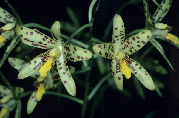 African Tiger Wall Art - Photograph - Tiger Orchid Flowers by Paul Harcourt Davies/science Photo Library