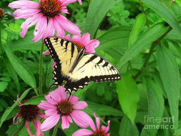 Photograph - Tiger Swallowtail Butterfly by James Brunker