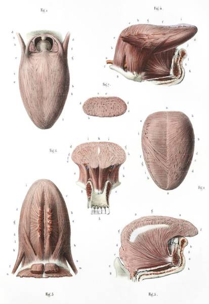 Buccal Wall Art - Photograph - Tongue Anatomy by Science Photo Library