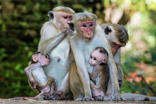 Old World Monkey Photograph - Toque Macaque Family Group by Peter J. Raymond