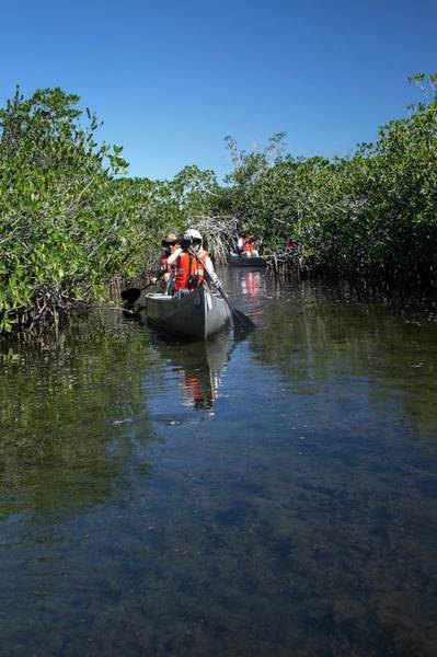 Everglades Photograph - Tourists Canoeing In Mangrove Swamp by Jim West