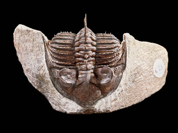 Arthropods Wall Art - Photograph - Tower-eyed Trilobite by Natural History Museum, London