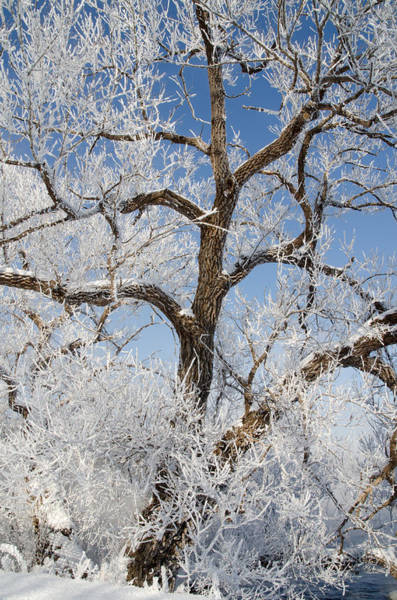 Photograph - Tree By The River. Covered With Hoar Frost. by Rob Huntley