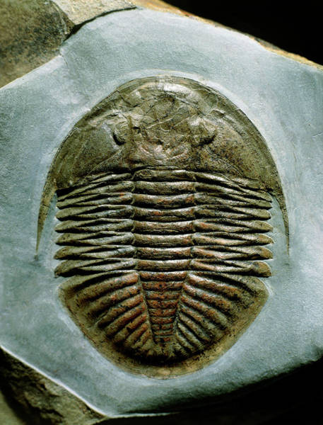 Sexual Photograph - Trilobite by Sinclair Stammers/science Photo Library