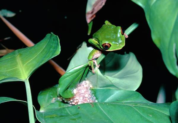 Wall Art - Photograph - Trinidad Leaf Frog by Dr Morley Read/science Photo Library.