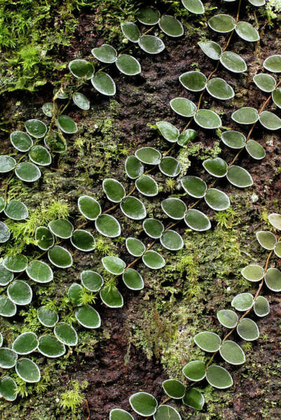 Climbing Plants Photograph - Tropical Climbing Plant by Sinclair Stammers/science Photo Library