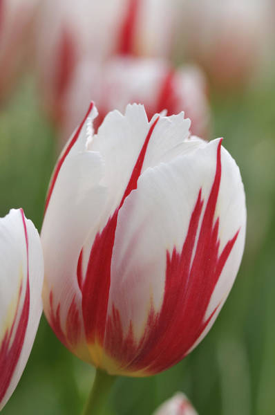 Singly Photograph - Tulips by Matthias Hauser