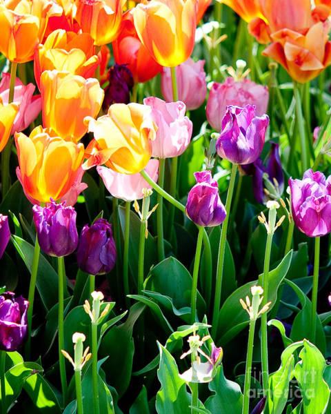 Purple Tulip Photograph - Tulips by Shijun Munns