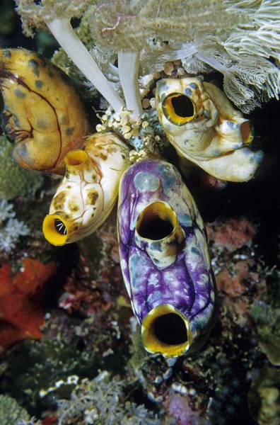 Photograph - Tunicates by Andrew J Martinez