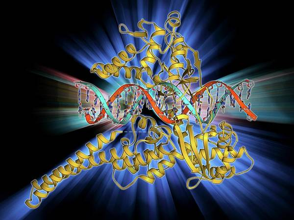 Double Helix Photograph - Type I Topoisomerase Bound To Dna by Laguna Design