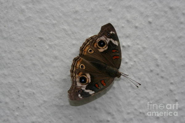 Photograph - Mothra by Cynthia Marcopulos