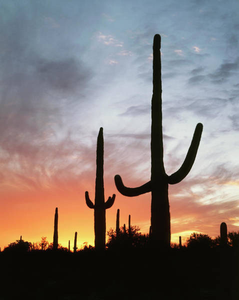Wall Art - Photograph - Usa, Arizona, Organ Pipe Cactus by Christopher Talbot Frank
