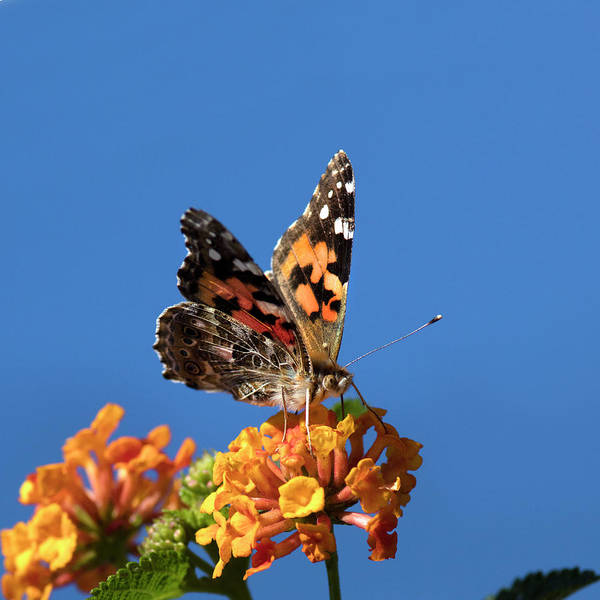 Wall Art - Photograph - Usa, California Painted Lady Butterfly by Jaynes Gallery