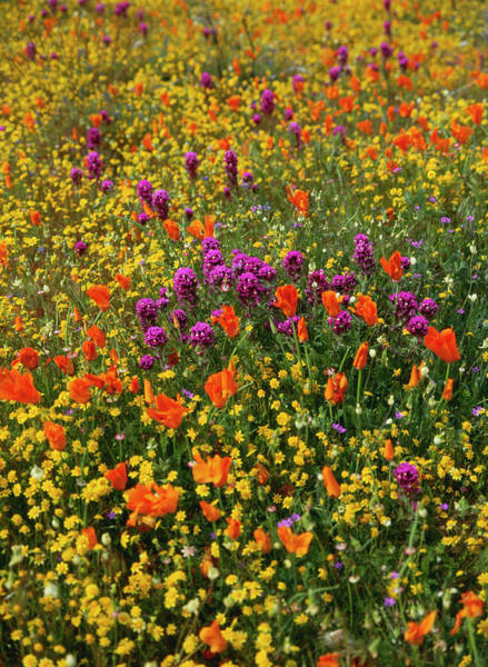California Poppy Photograph - Usa, California, View Of Owl's Clover by Stuart Westmorland