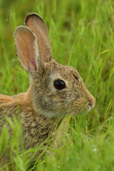 Cottontail Wall Art - Photograph - Usa, Colorado, Rocky Mountain Arsenal by Jaynes Gallery