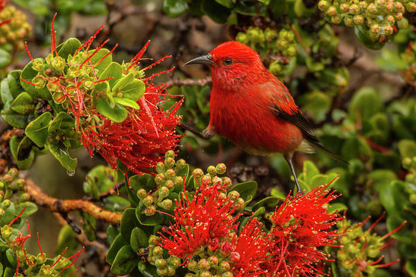 Ohia Photograph - Usa, Hawaii, Hakalau Forest National by Jaynes Gallery