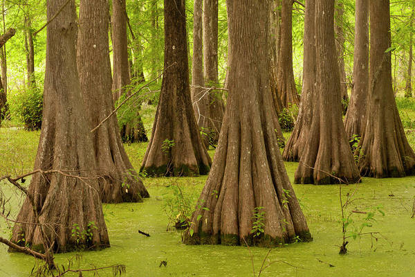 Bald Cypress Wall Art - Photograph - Usa, Louisiana, Lake Martin by Jaynes Gallery