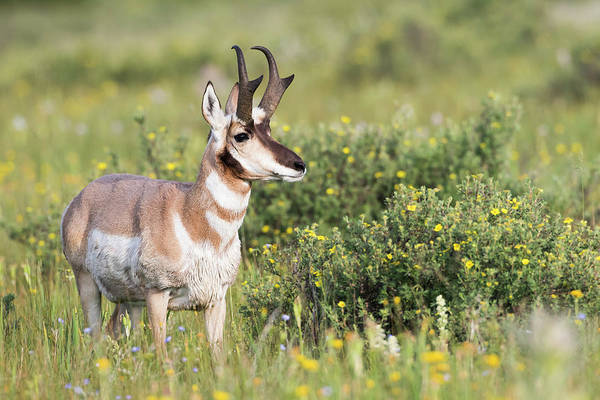 Pronghorn Antelope Wall Art - Photograph - Usa, Montana, Red Rock Lakes National by Elizabeth Boehm