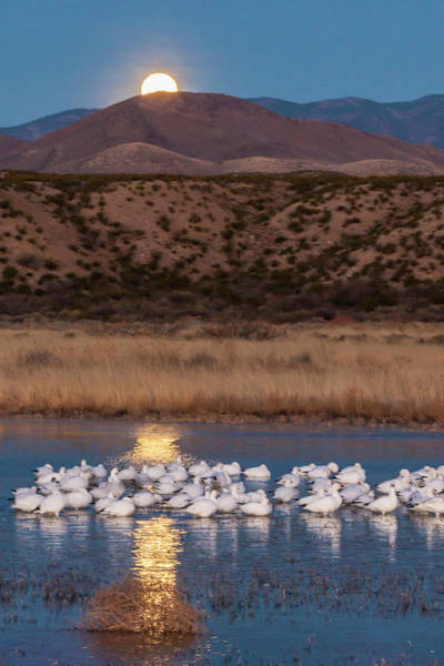 National Bird Photograph - Usa, New Mexico, Bosque Del Apache by Jaynes Gallery