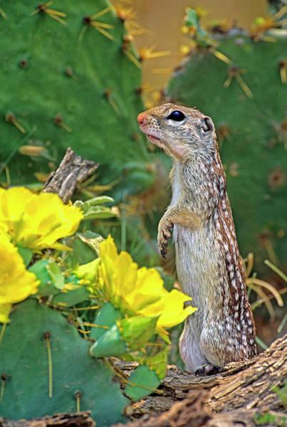 Opuntia Photograph - Usa, Texas, Rio Grande Valley, Mcallen by Jaynes Gallery