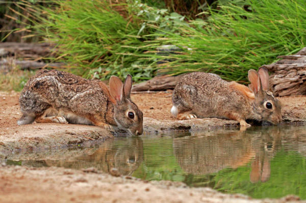Cottontail Wall Art - Photograph - Usa, Texas, Starr County by Jaynes Gallery
