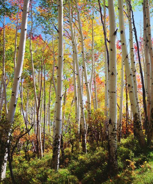Wall Art - Photograph - Usa, Utah, Fall Colors Of Aspen Trees by Jaynes Gallery
