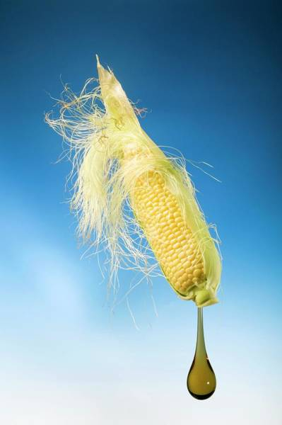 Wall Art - Photograph - Using Maize To Produce Biofuels by Steve Percival/science Photo Library