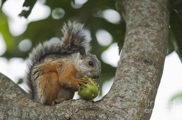 Photograph - Variegated Squirrel by Dan Suzio
