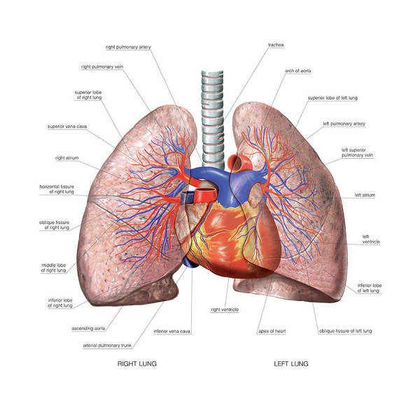 Lung Photograph - Vascular System. Lungs by Asklepios Medical Atlas