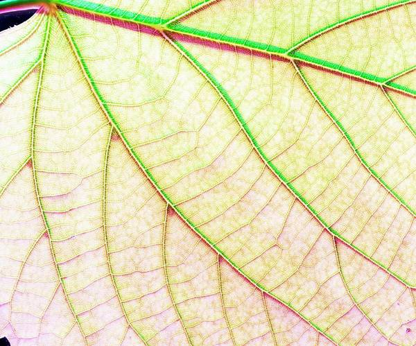 Leaf Venation Wall Art - Photograph - Veins In A Lady's Mantle Leaf by Adam Hart-davis/science Photo Library