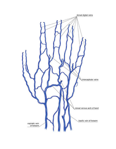 Hand Anatomy Wall Art - Photograph - Venous System Of The Hand by Asklepios Medical Atlas