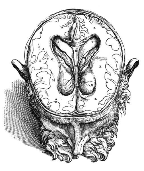 De Humani Corporis Fabrica Photograph - Vesalius: Brain, 1543 by Granger