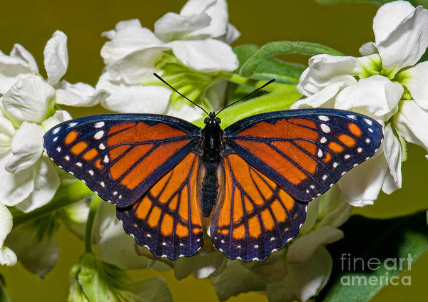 Duval County Photograph - Viceroy Butterfly by Millard H. Sharp