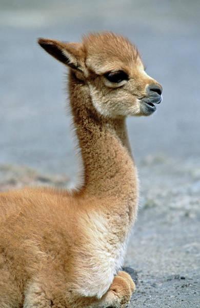 Andes Photograph - Vicuna (vicugna Vicugna by Martin Zwick