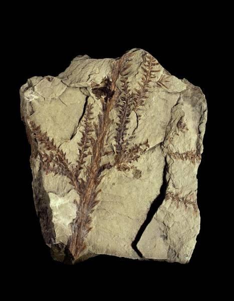 Specimen Wall Art - Photograph - Voltzia Conifer Fossil by Gilles Mermet